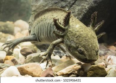 Axolotl Mexican in aquarium.