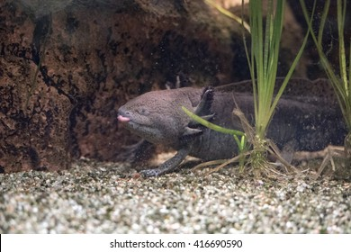 axolotl mexican salamander portrait underwater while eating