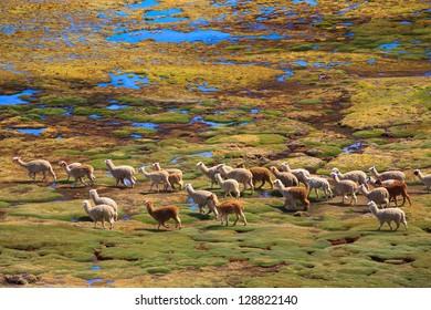 AYACUCHO, PERU: Alpacas in natural place, in the peruvian andes.