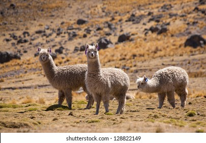 AYACUCHO, PERU: Alpacas in natural place, in the peruvian andes.