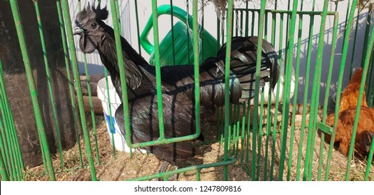 Ayam Cemani is an uncommon and relatively modern breed of chicken from Indonesia. The chicken is entirely black including feathers, beak, and internal organs.