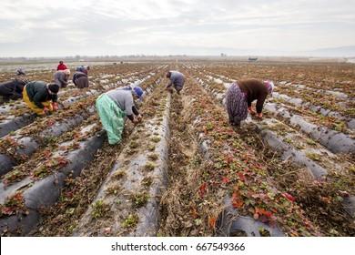 Aydin, Turkey - January 14, 2017: Women farmers work in strawberry fields