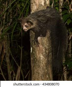 Aye-Aye, black, Daubentonia madagascariensis, Madagascar