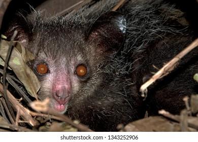 Aye-aye endemic of Madagascar