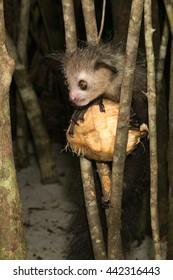 Aye-Aye lemur  sitting on a coconut between branches, Madagascar
