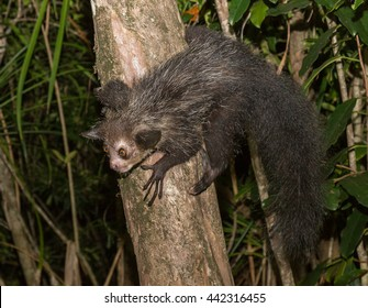 Aye-Aye lemur sitting on the tree, Madagascar