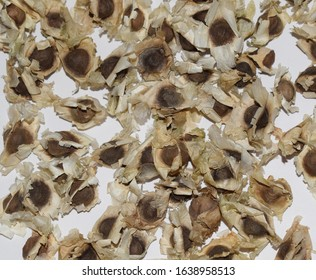 Ayurvedic herb used in Ayurveda Moringa oleifera is Drumstick seeds used as herb in South Asia. Also known as Horseradish ben oil Benzolive seed pods cures many ailments