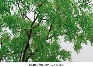Azadirachta Indica tree