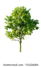 Azadirachta indica tree isolated on white background