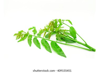 Azadirachta indica-Neem leaves isolated on white background
