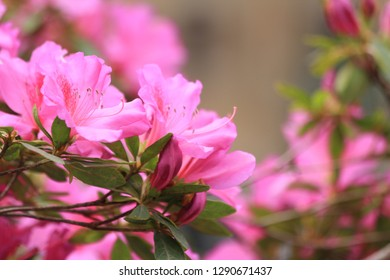Сlose-up of an Azalea branch, densely covered with pink flowers and buds