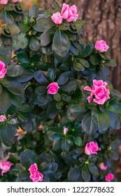Azalea Bush. Azaleas are shady, tolerant flowering shrubs of the genus Rhododendron.