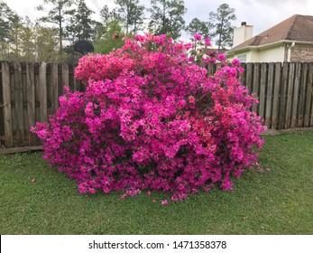 Azalea bush in full bloom