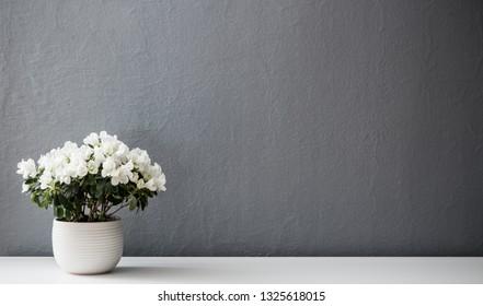 Azalea dwarf white  in white pot against gray wall
