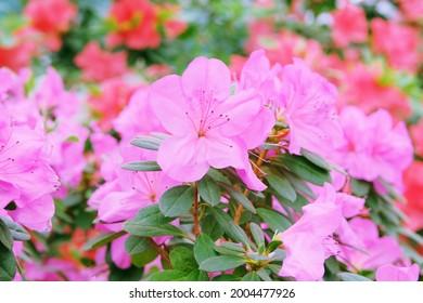 Azalea festival. Azaleas in spring, pink flowers. Blooming pink azalea flowers close up in a botanical park.
