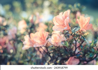 Azalea flower ,Azalea flower in the morning