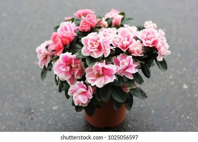 azalea flower in a pot