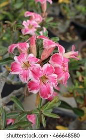 Azalea flower in Thailand