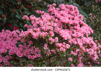 Azalea flowering plant blooming Wilmington North Carolina. Azalea festival.