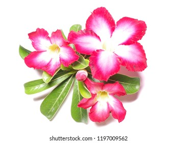Azalea flowers From the adenium. Is on a white background