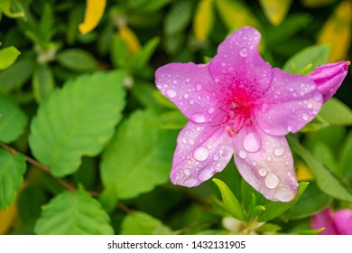 Azalea flowers are flowering shrubs in the genus Rhododendron, particularly the former sections Tsutsuji and Pentanthera. Azaleas bloom in the spring, their flowers often lasting several weeks.