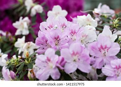 Azalea flowers. Pink azalea in the garden