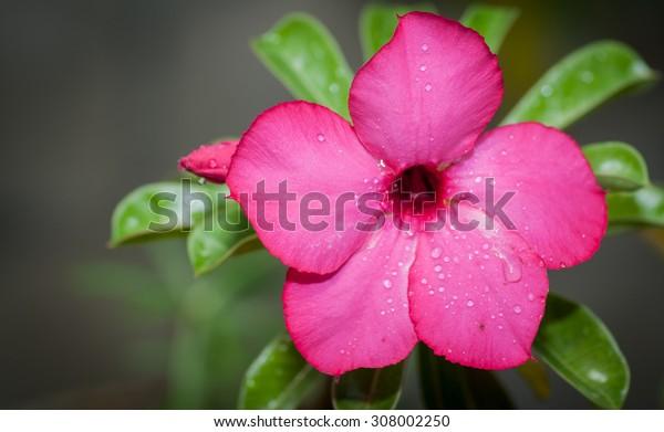 Azalea flowers of thailand