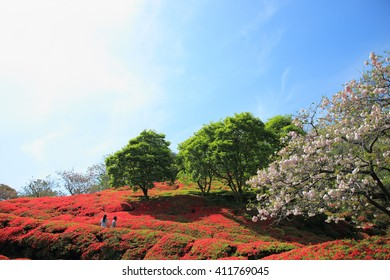 Azalea, fresh verdure and cherry blossom