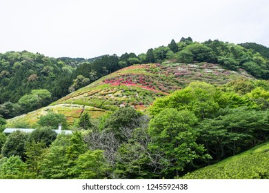 Azalea garden at Hinenosawa Park