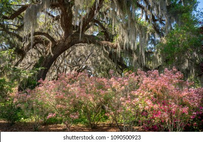 Azalea Garden in Spring - South Carolina with Live Oaks and Spanish Moss