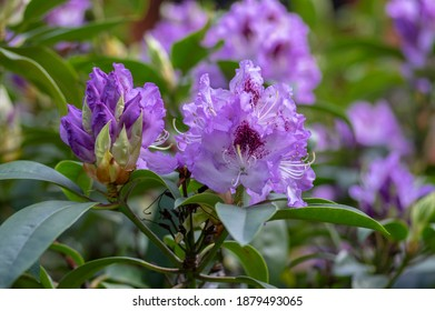 Azalea japonica blue jay purple white spotted bunch of flowers in bloom, beautiful flowering plant branches, green leaves