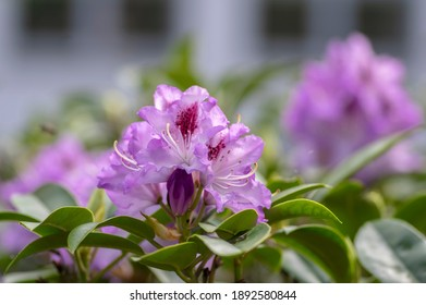 Azalea japonica blue jay purple white spotted bunch of flowers in bloom, beautiful flowering plant branches, green rhododendron leaves