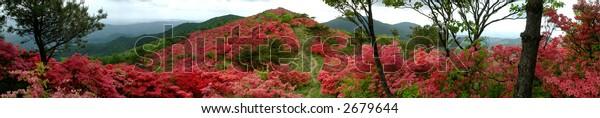 Azalea mountain, Japan
