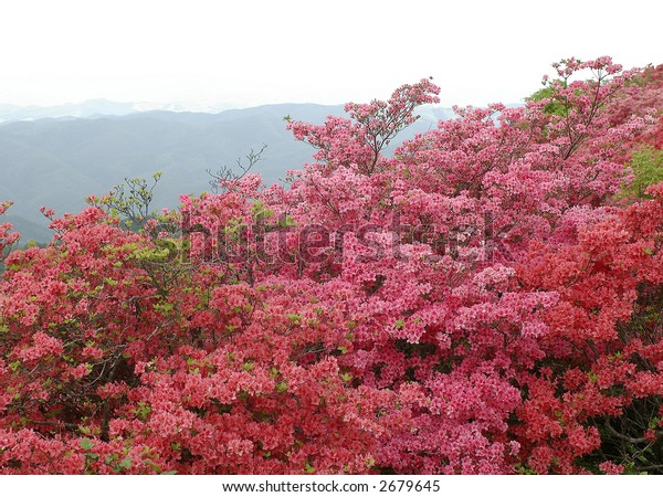 Azalea mountain, Japan