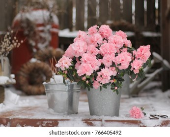 Azalea pink color in the garden in winter  in the winter against snow-covered wooden fence
