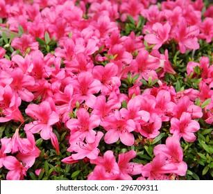 azalea, pink Azalea flower blossom in a park , Japan