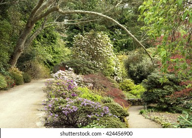 Azalea and Rhododendron under Eucalyptus branch arch.  A bed of azalea and rhododendron bushes as a border between two paths. They are overarched by a eucalyptus branch