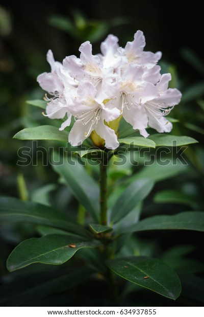 Azalea rhododendron white blossoms in spring garden Rhododendron woody evergreen plants within familiy Ericaceae is the national flower of Nepal, image is filtered for soft vintage effect