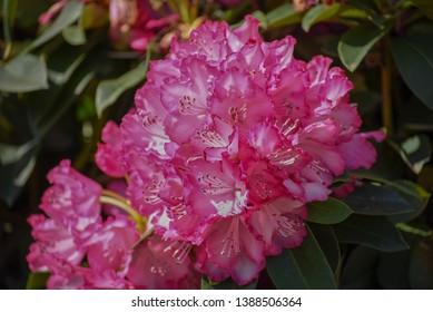 Azalea Rosa King. Deep-pink blossoms of vigorous Japanese Azalea. Close up