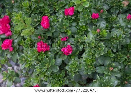Azalea shrub pink flowers blooming summer stock photo edit now azalea shrub with pink flowers blooming in summer garden gorgeous houseplant and garden plant with mightylinksfo