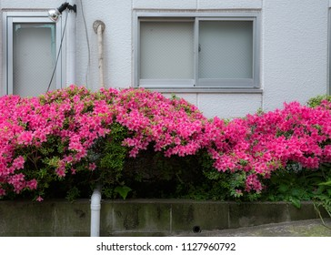 Azalea tree and flowers blooming in the street in Tokyo, Japan