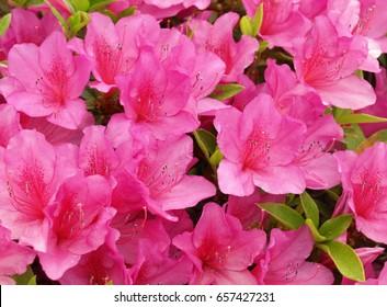 azalea,pink azalea flower in a park,japan.