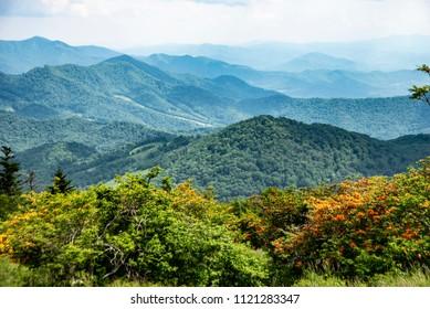 Azaleas bloom on top of the mountain ridge on Roan Mountain.