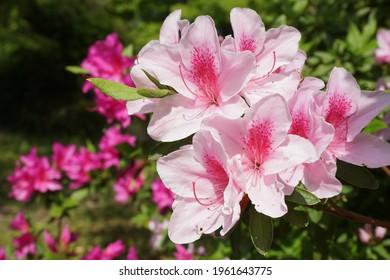 Azaleas blooming in early summer in Japan