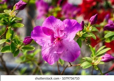 Azalea's flower. Coral pink azalea flowers. Coral pink azalea flowers in the garden. Season of flowering azaleas.