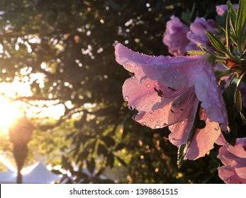 Azalea's flower. Coral pink azalea flowers. Coral pink azalea flowers in the garden. Season of flowering azaleas. - Image