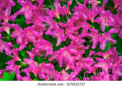 Azalea's flower. Rhododendron simsii (Indian Azalea, Sims's Azalea) ; The attractively wild rose, magenta or dark red shade, ruffle petals.