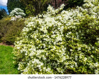 Azaleas are flowering shrubs in the genus Rhododendron, particularly the former sections Tsutsuji (evergreen) and Pentanthera (deciduous).