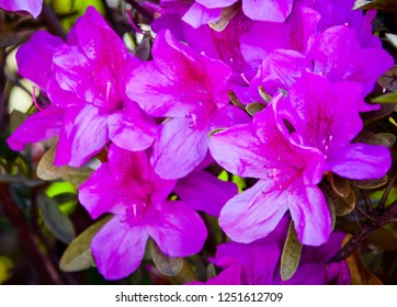 Azaleas flowering. Spring blooming rhododendron. Purple Pink flowers full frame color.
