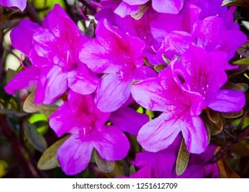 Azaleas flowering. Spring blooming rhododendron. Purple Pink flowers full frame color.
